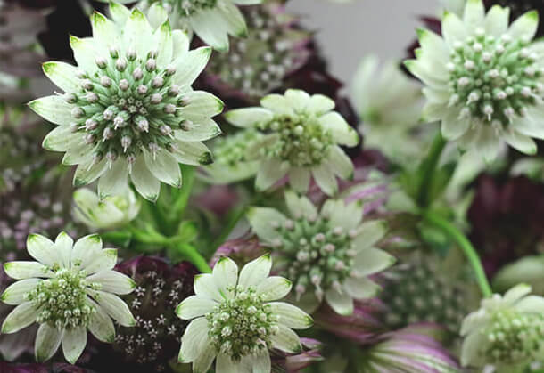 fleurs-fraiches-astrantia